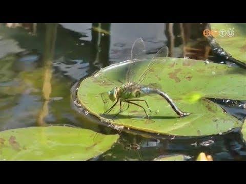 szitakötő és paraziták)