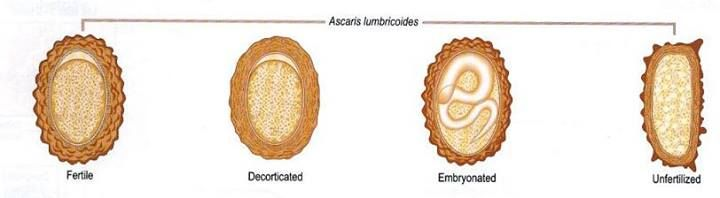 Ascaris és lamblia kezelése - Giardiasis tünetei és kezelése