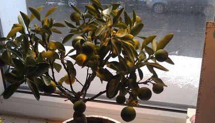 Betegségek és kártevők Calamondin leesik, és a levelek sárgulnak, nem virágzik, őszi gyümölcsök