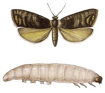 paraziták a lepkék lepkéin