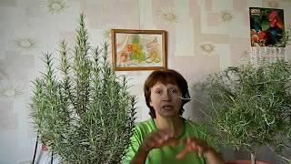 rozmaring és paraziták)