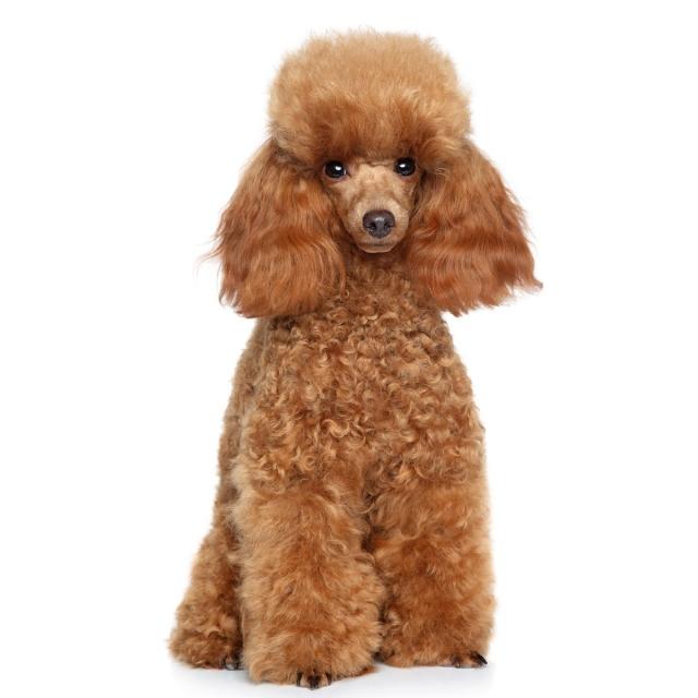 + Best Toy uszkár - Toy poodle images | uszkár, kutya, befőttes üvegből készült gyertyák