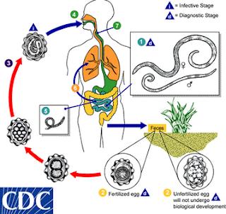 hogyan fertőződnek meg a felnőttek ascaris- szal enterobiasis megelőzése