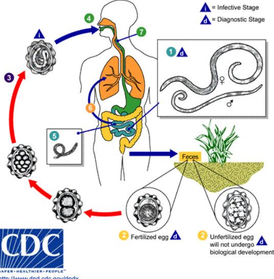 hogyan lehet eltávolítani a helmintákat a testből az a paraziták gyógynövényes kezelése a testben