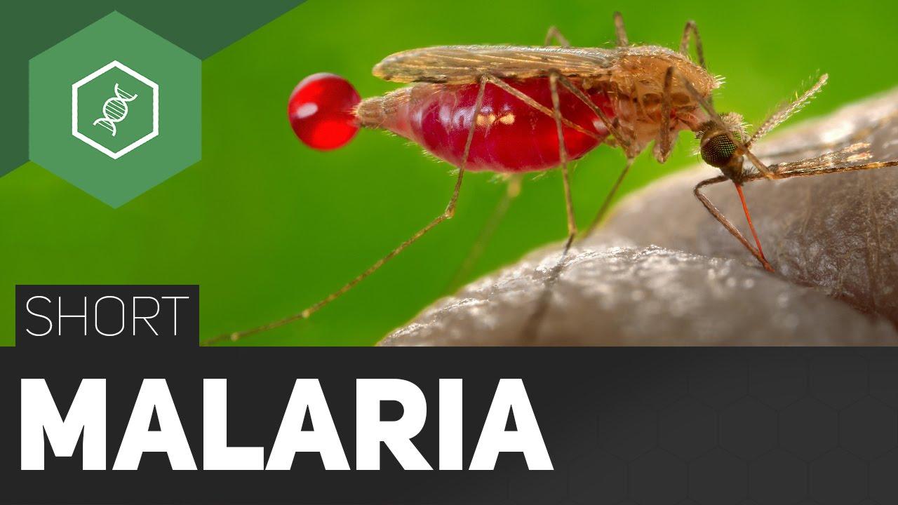 malária parazita fejlődési ciklus)