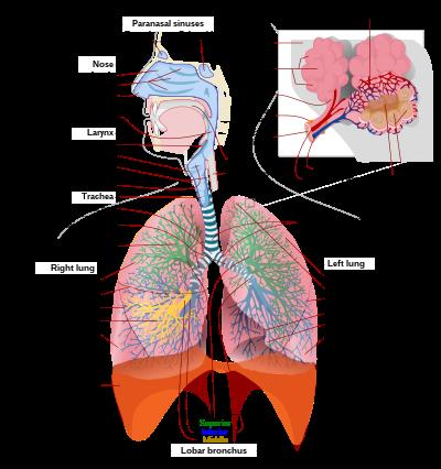 4.1.1. Tüdő- légzési szakasz