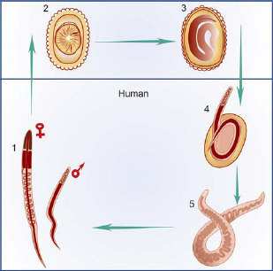 ascaris embrió