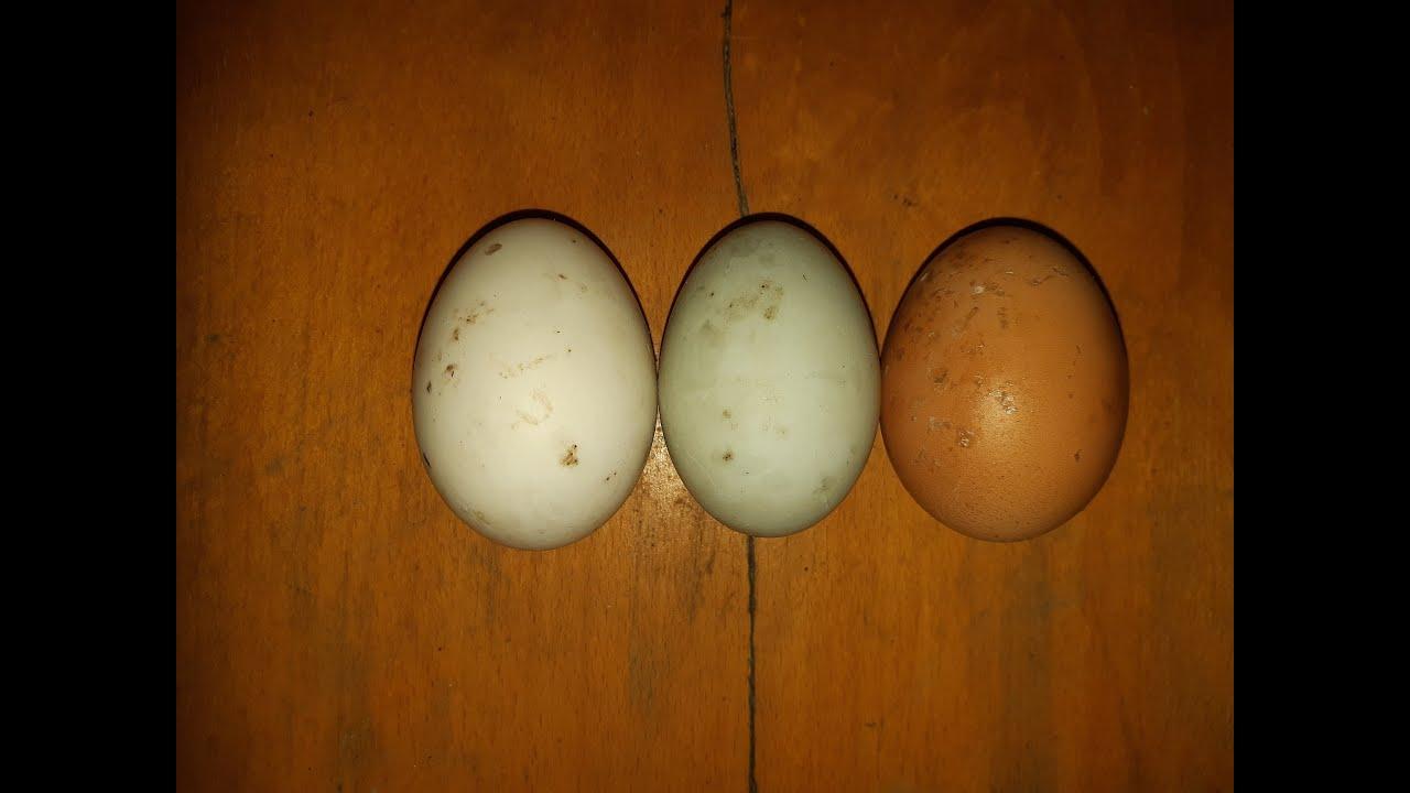 körömféreg- tojás emberi méret)