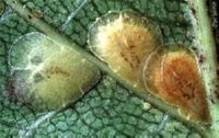 emberi gadfly parazita