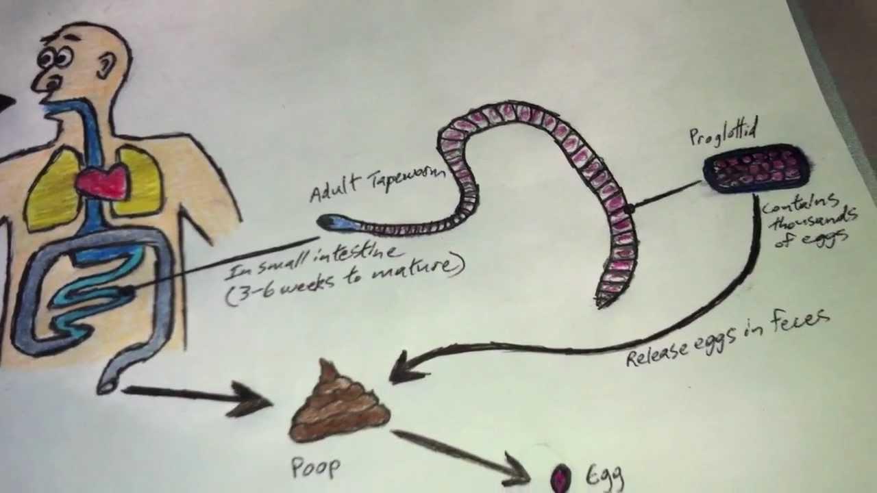 diphyllobothriasis petesejtek