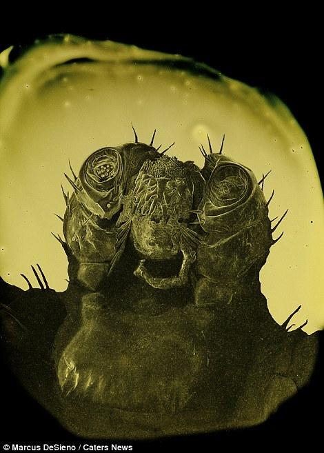 piócák és paraziták