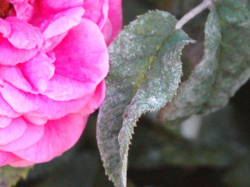 rózsák parazita elleni védekezés)