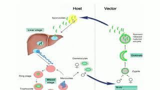 Hemosporidia eletciklusa, Malária parazita fejlődési ciklus