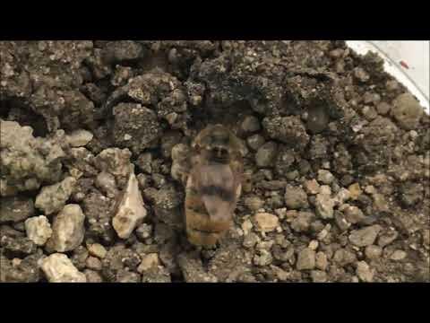 Hogyan lehet felismerni a pinwormokat