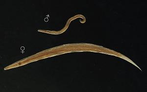 Gyermekek helminthiasis kezelése és megelőzése A pinworms megelőzése és kezelése