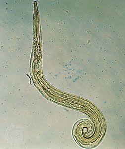 Pinworm hatások gyermekeknél Parazita pinworm