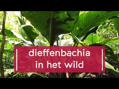 paraziták és dieffenbachia)