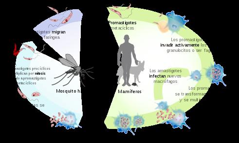 leishmaniasis parazita