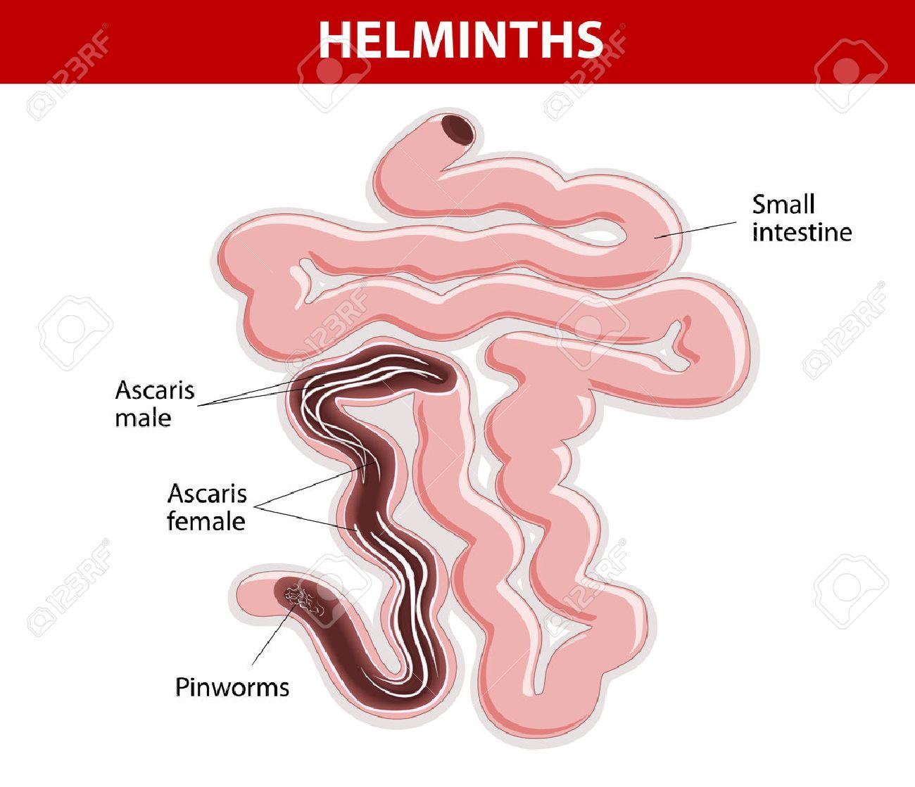 a helmint lokalizációja