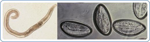 emberi pinworm)