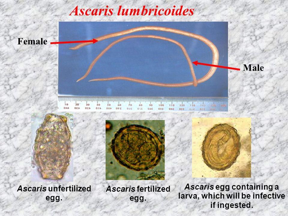 Ascaris - Ascaris - prohormones.hu