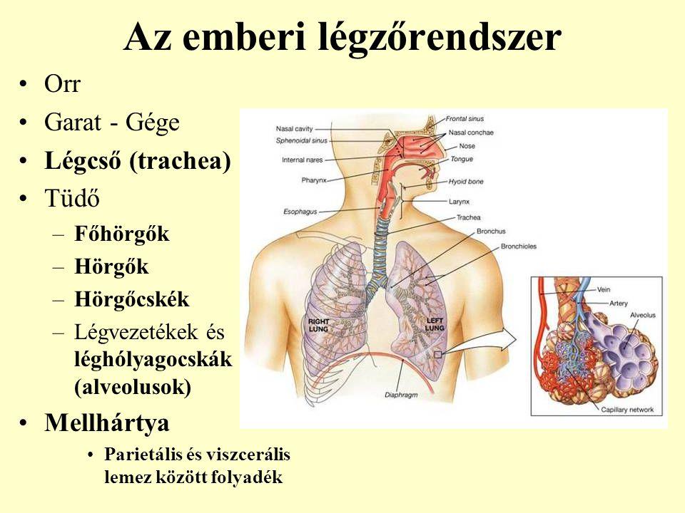 tüdő légzése