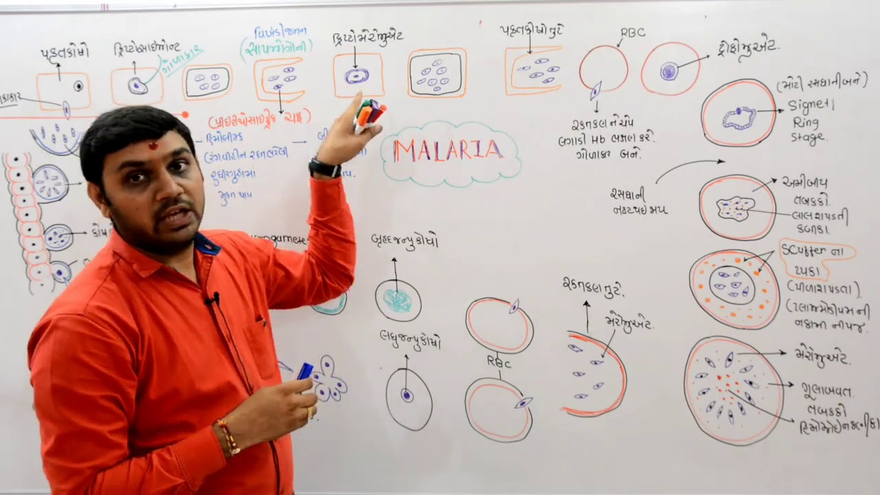 Plasmodium malária fejlődési ciklus röviden