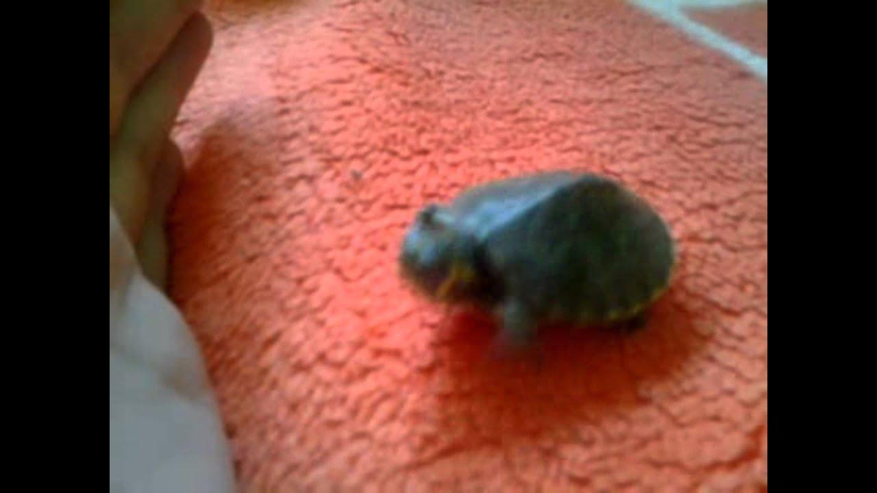 parazita teknős