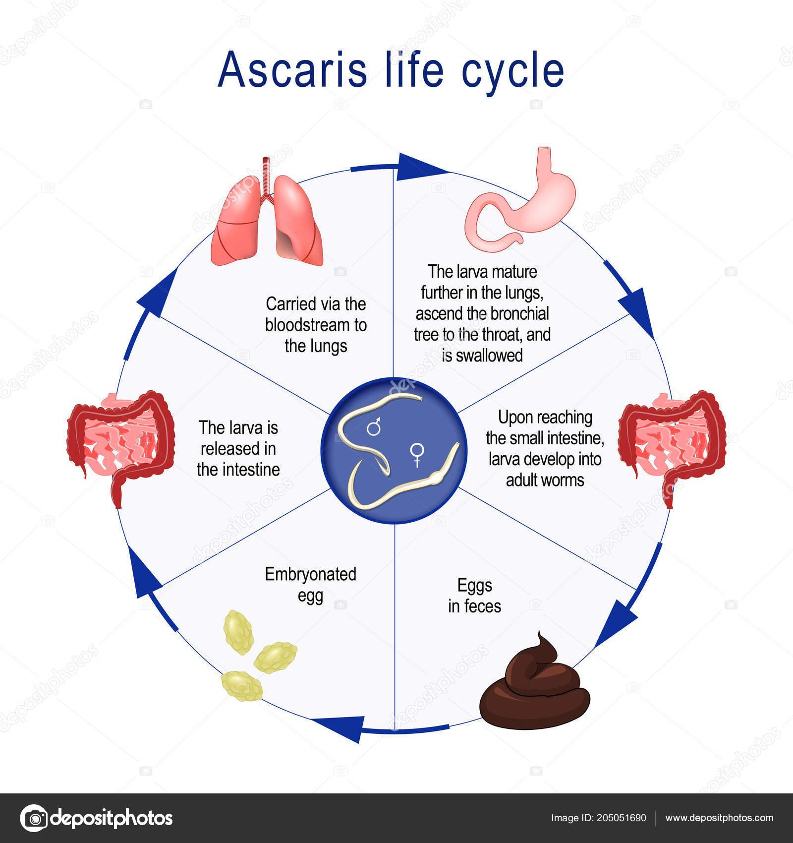 ascaris vezikulum emberi