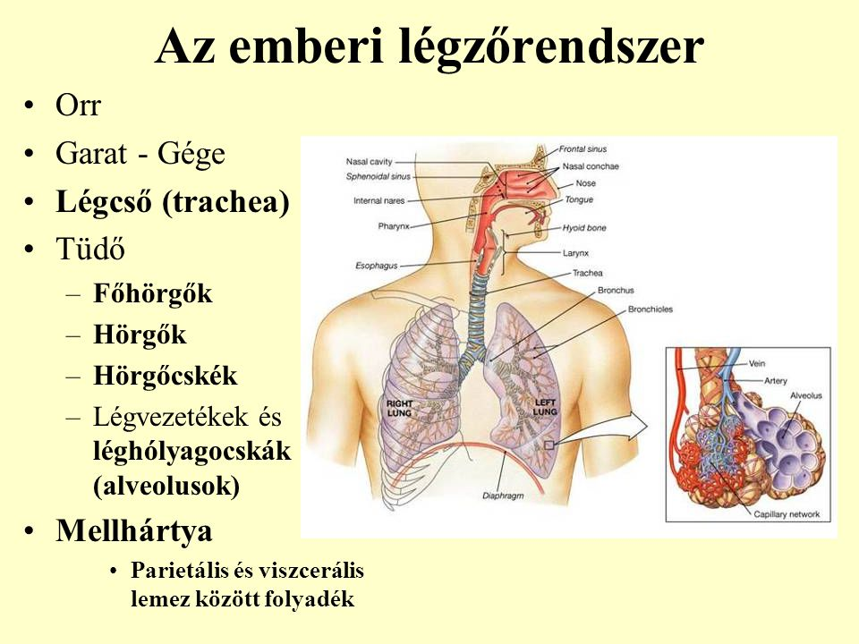 tüdő légzése)