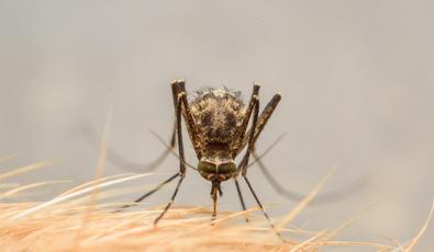 fertőző parazita)