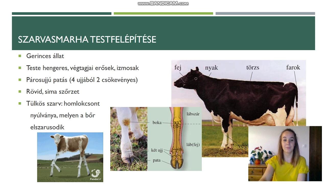 szarvasmarha galandféreg- ellenőrzési intézkedések)