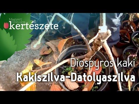 Datolyaszilva parazita kezelés