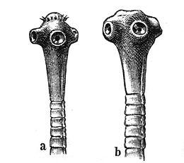 galandféreg és ligula