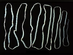 galandféreg galandféreg