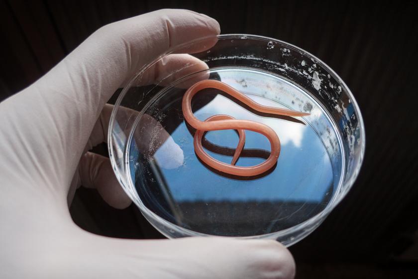 galandféreg- parazita a testben