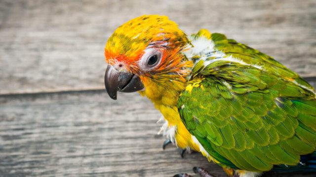 Elősködők elleni spot on kistestű madaraknak