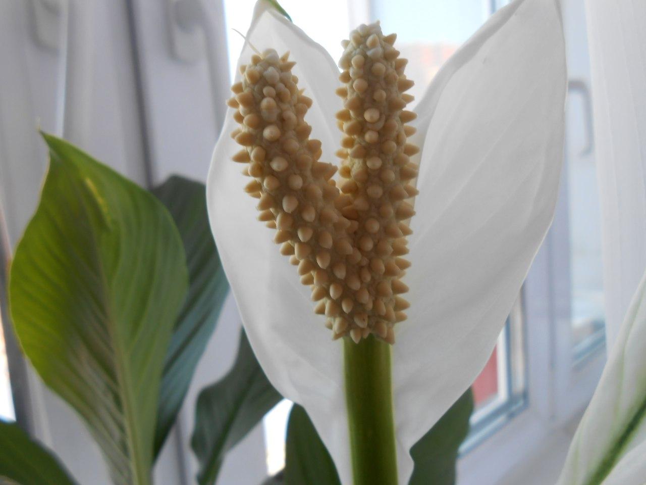 spathiphyllum paraziták