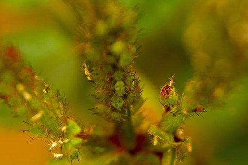 Fa tetű parazita, Quassia fa paraziták, Természetes módon távoltartja a fejtetveket!