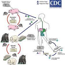 parazita cysticercus)