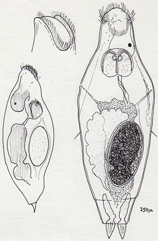 a rotifer parazita
