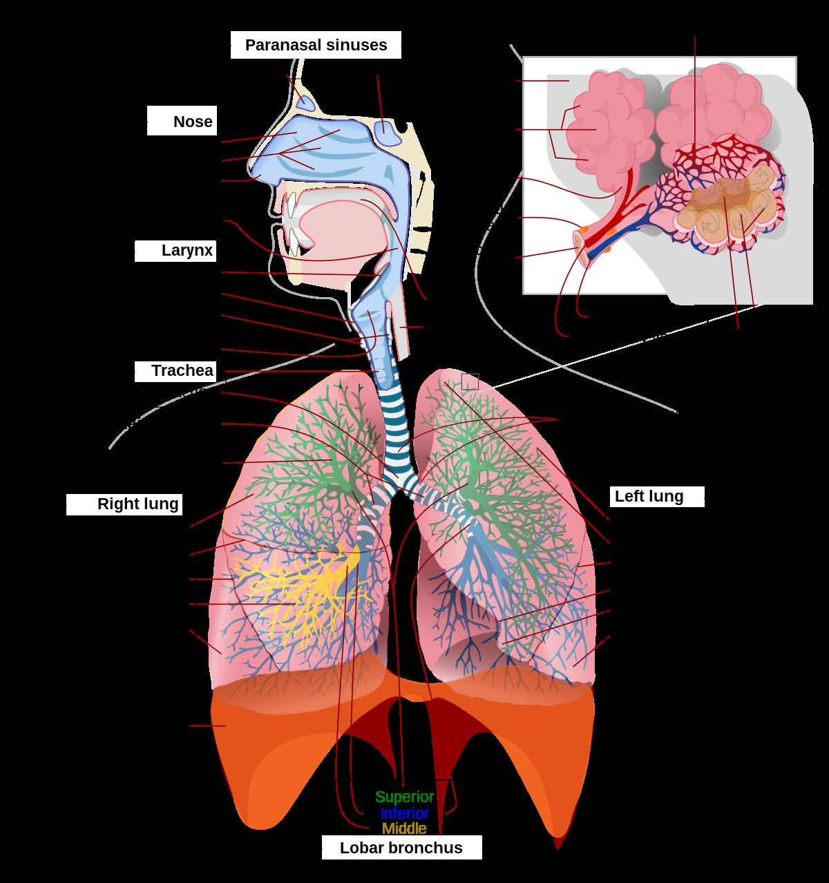 légzési hiányosság ostorféreg fonálféreg