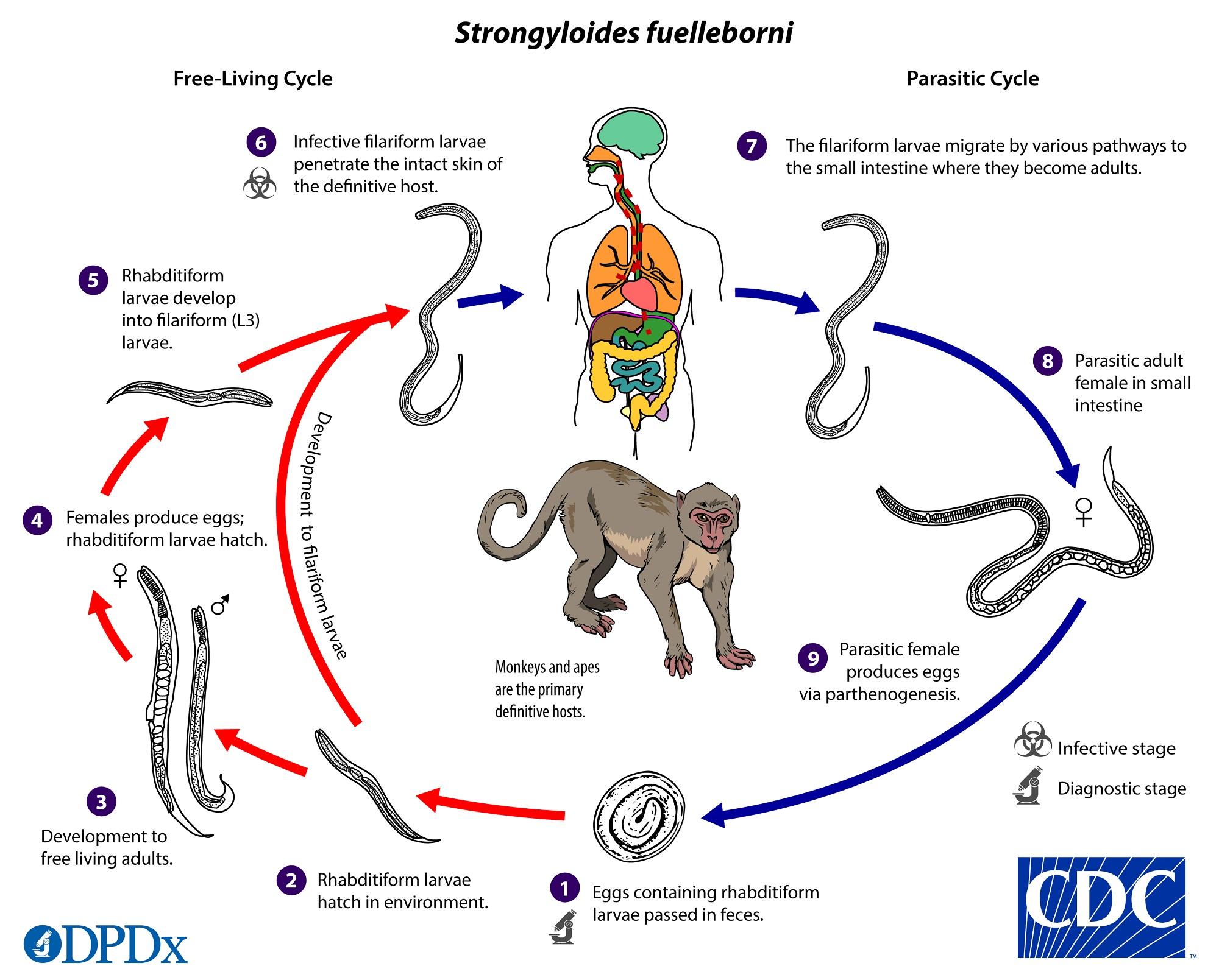 Strongyloidosis gyógyszer