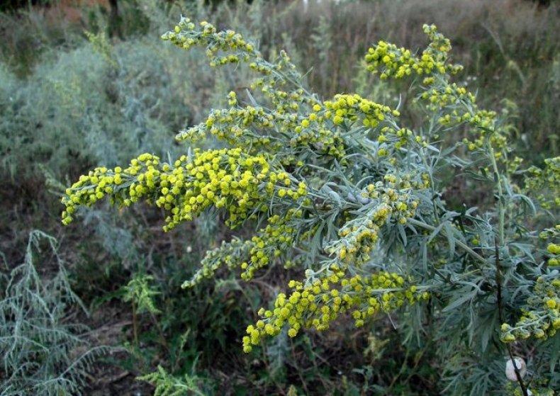 Hatóanyagot adó növények a Pannon Breeding program keretében - Mezőhír