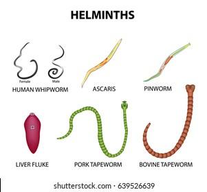Pinworms ábra. Felnőtt, pinworm. Viszonoz, szakasz, kereszt, ábra, pinworms, kettőspont, emberi, 3.