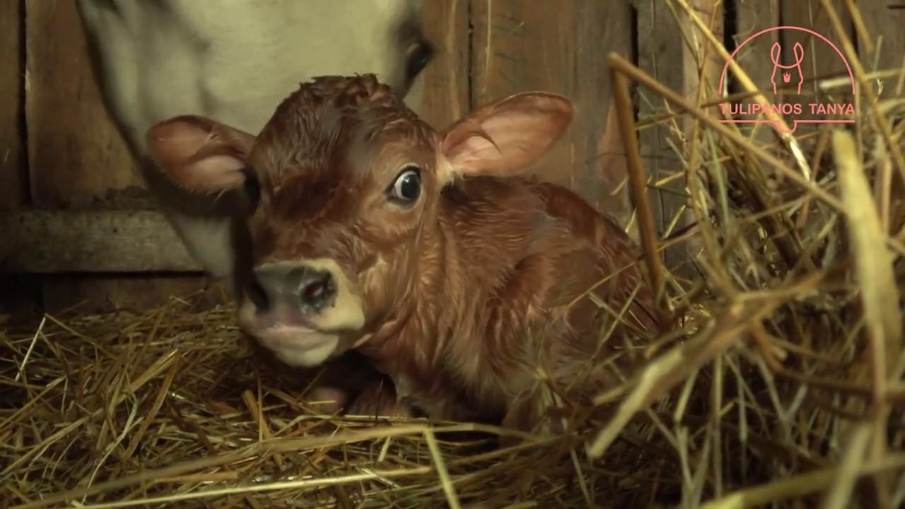 Belek hiánya a szarvasmarha galandférgében. A Magyarországon előforduló féregfertőzések