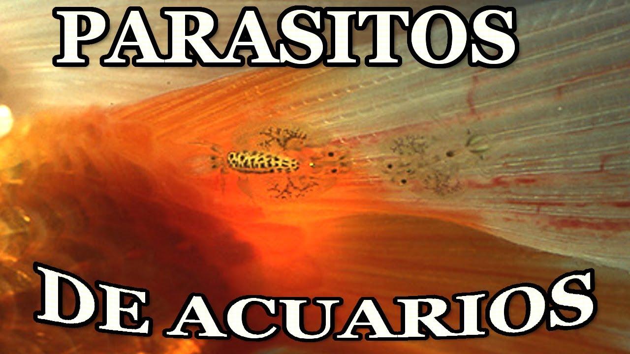 a parazitáktól elhízik)