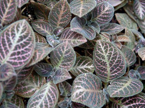 spathiphyllum paraziták)