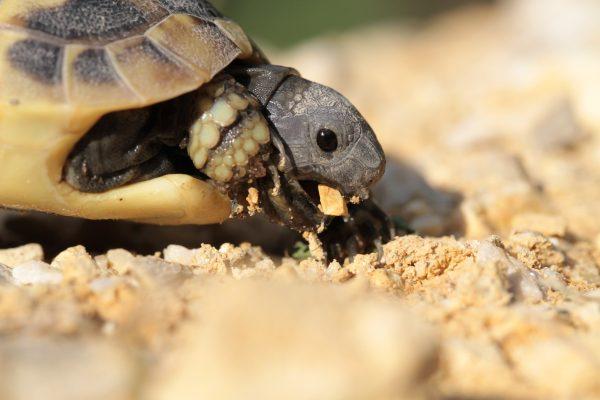 Paraziták ölnek meg, Algaparaziták öltek meg csaknem 300 ritka tengeri teknőst Mexikóban