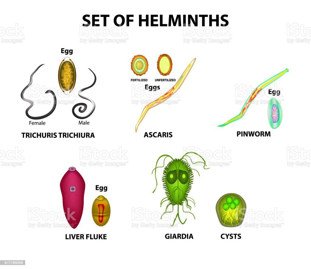 a lovas parazita pinworms továbbítják őket